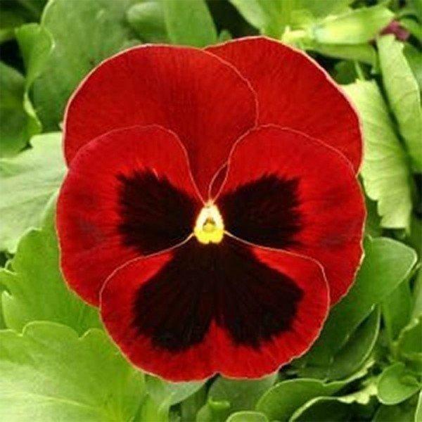 amor perfeito gigante suico vermelho 319