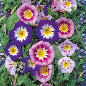 convolvulus tricolor bela manha 355