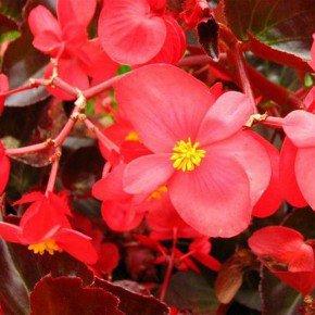 720 begonia semperflorens f2
