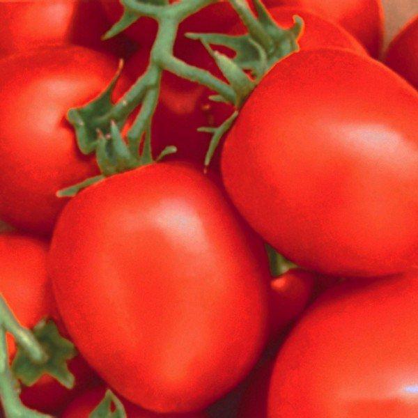 tomate hibrido chapolin 268