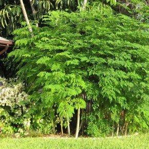 sementes de moringa oleifera ft3