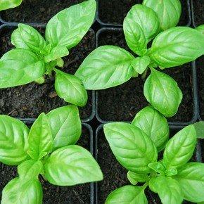 semente manjericao alfavaca brasilicao bom cultivo