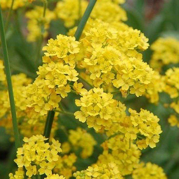 alyssum oerene amarelo bom cultivo isla