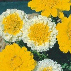 flor crisantemo dobrado sortido flor amarela