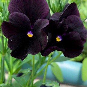 flor preta amor perfeito eclipse flor negra flor escrura flor roxa bom cultivo