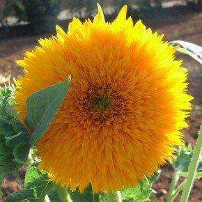 girassol de jardim dobrado amarelo anao isla bom cultivo flor amarela flor sol
