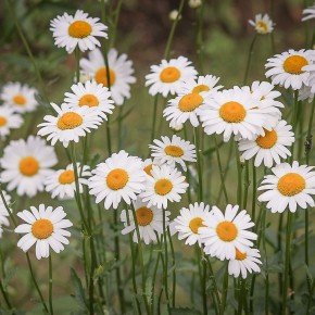 margarida branca semente margarida flor margarida isla bom cultivo