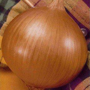 semente cebola baia precoce bom cultivo isla