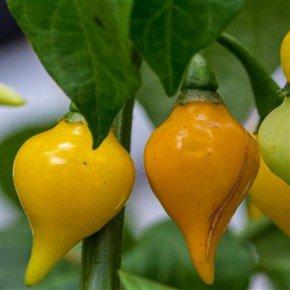 semente pimenta airetama biquinho amarela bom cultivo isla